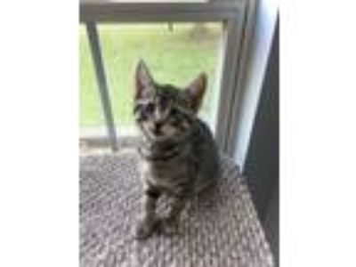 Adopt Rio a Domestic Short Hair