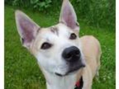 Adopt Shay a Tan/Yellow/Fawn - with White Husky / Shepherd (Unknown Type) /
