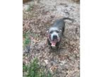 Adopt Jade a Gray/Blue/Silver/Salt & Pepper American Pit Bull Terrier / Pit Bull