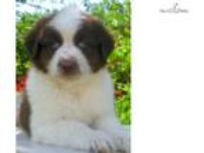 AKC/ASCA Red Male Blue eyes