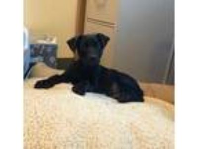Adopt Jack a Black Doberman Pinscher / Mixed dog in Irving, TX (25905518)