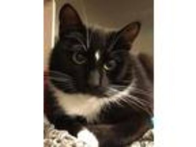 Adopt Serendipity a Domestic Short Hair