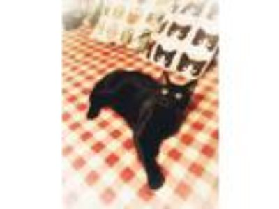 Adopt Toby a All Black Domestic Shorthair (short coat) cat in Xenia