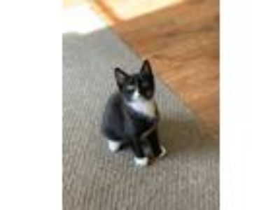 Adopt Jahseh a Black & White or Tuxedo Domestic Shorthair / Mixed cat in Union