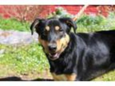 Adopt Concord (Trainee) a Collie
