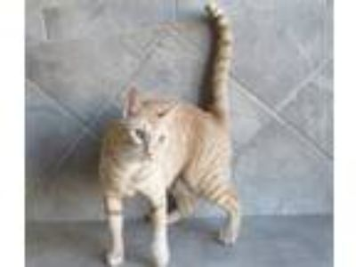 Adopt Keira a Orange or Red Tabby Domestic Shorthair (short coat) cat in Seguin