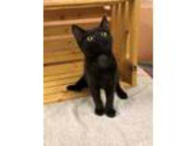 Adopt GUACAMOLE a All Black Domestic Shorthair / Domestic Shorthair / Mixed cat