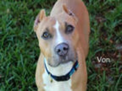 Adopt VON MILLER a Tan/Yellow/Fawn - with White American Pit Bull Terrier /