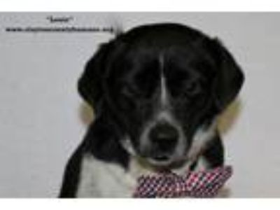 Adopt Louie a Jack Russell Terrier, Beagle