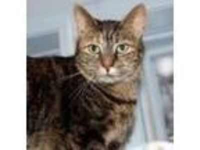 Adopt Sophia a Domestic Shorthair / Mixed (short coat) cat in Battle Creek