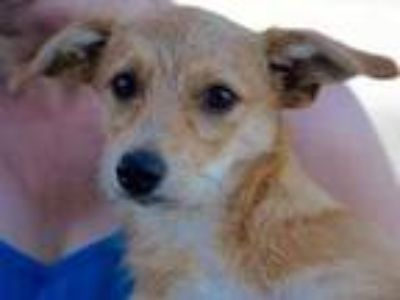 Adopt Brownie a Tan/Yellow/Fawn Mixed Breed (Medium) / Mixed dog in Georgetown