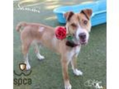 Adopt Sammi a Tan/Yellow/Fawn Hound (Unknown Type) / Mixed dog in Largo
