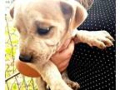 Adopt Winny a Tan/Yellow/Fawn Pit Bull Terrier / Mixed dog in Laurel
