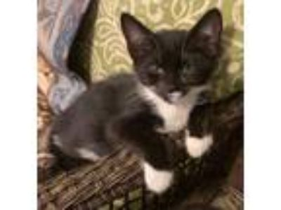 Adopt Panda a Domestic Short Hair