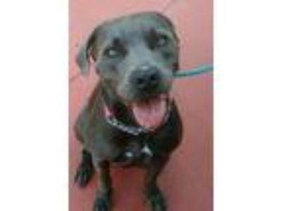 Adopt Reba a Weimaraner, American Staffordshire Terrier