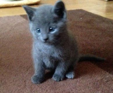 Pedigree Russian Blue Kitten For Sale