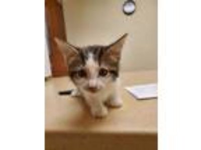 Adopt 42205521 a Brown or Chocolate Domestic Shorthair / Mixed cat in Land