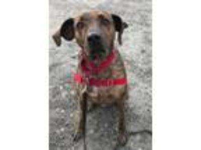 Adopt Guy a Plott Hound