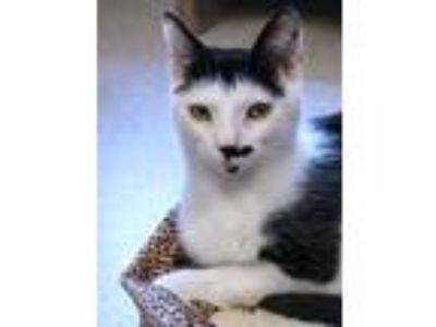 Adopt Bingo and Stache a Domestic Short Hair