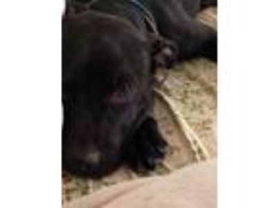 Adopt Ginger a Black - with White American Pit Bull Terrier / Labrador Retriever