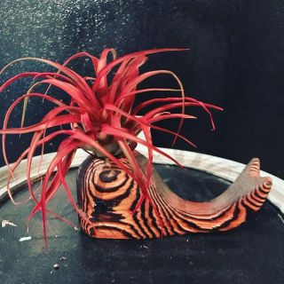Large red airplant in a vintage wooden whale!