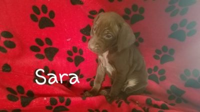 German Shorthaired Pointer PUPPY FOR SALE ADN-108337 - Hunting Dogs