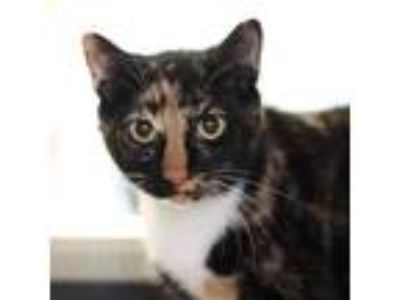 Adopt Flora a All Black Domestic Shorthair / Domestic Shorthair / Mixed cat in
