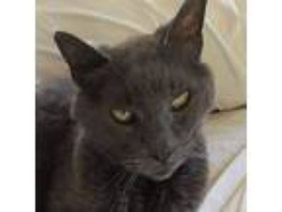 Adopt Olivia a Gray, Blue or Silver Tabby Russian Blue (medium coat) cat in San
