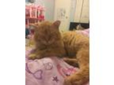 Adopt Sampson a Orange or Red Tabby Domestic Mediumhair cat in Jacksonville