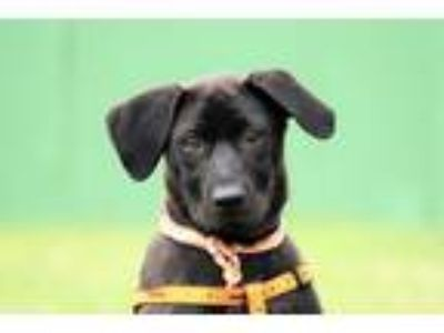 Adopt Cupid a Black Labrador Retriever / Kai Dog / Mixed dog in San Francisco