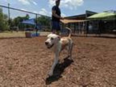 Adopt Eggshell a White Mixed Breed (Large) / Mixed dog in Chamblee