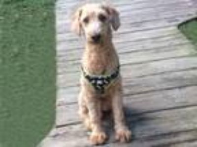 Adopt PERRY a White Poodle (Miniature) / Mixed dog in Melbourne, FL (25285730)