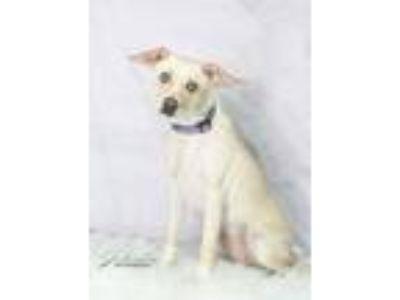 Adopt Odessa a Terrier