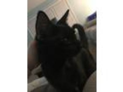Adopt Luna a All Black American Shorthair / Mixed cat in Johnson City