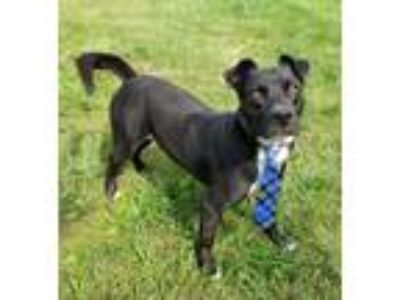Adopt BoBo a Black - with White Labrador Retriever / Mixed dog in Lexington
