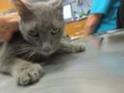 Adopt Chole a Domestic Short Hair