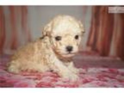 Hubba Babba Light Red Male CKC Toy Poodle