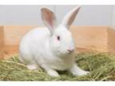 Adopt Rabbit Downey Jr a Bunny Rabbit