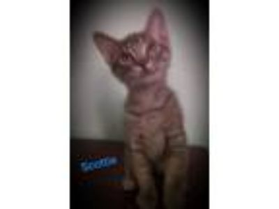 Adopt Scottie a Gray, Blue or Silver Tabby Domestic Shorthair (short coat) cat