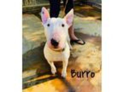 Adopt Burro - Sebastopol, CA a Bull Terrier