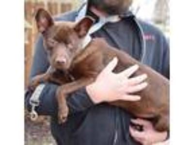 Adopt Sparkles a Chocolate Labrador Retriever, German Shepherd Dog