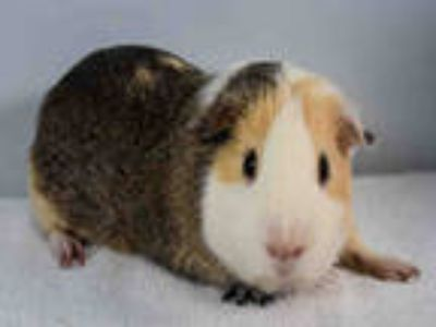 Adopt PEPSI a Silver or Gray Guinea Pig / Mixed small animal in Loveland