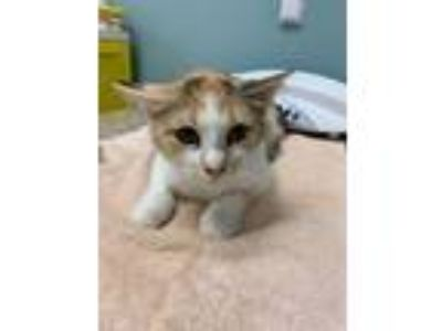 Adopt Katie Bug a Domestic Short Hair