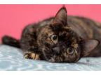 Adopt Kim a Domestic Shorthair / Mixed (short coat) cat in Madison