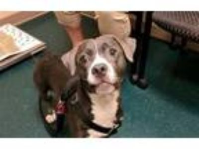 Adopt Kryptonite a Pit Bull Terrier, Dachshund