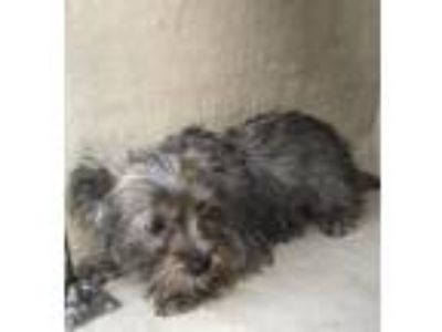 Adopt A529683 a Yorkshire Terrier