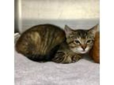 Adopt Marla a Brown Tabby Domestic Shorthair / Mixed cat in Oakland
