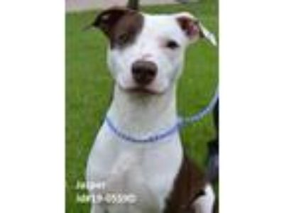 Adopt JAZPER a Border Collie, Hound