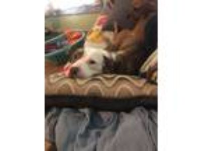 Adopt Muffins a Staffordshire Bull Terrier