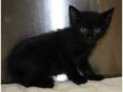 Adopt Set a All Black Domestic Shorthair / Domestic Shorthair / Mixed cat in